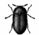 Pest - Carpet beetle