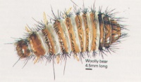 Pest - Carpet Beetle Larvae Woolly Bear